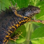 ECOS 40(4): Postgraduate winner: Great crested newts: the modern canary in the coal mine