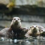 ECOS 40(4): Undergraduate winner: What are our otters eating?