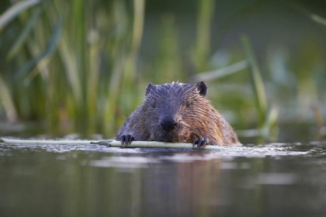 ECOS 40(6): The beaver's tale
