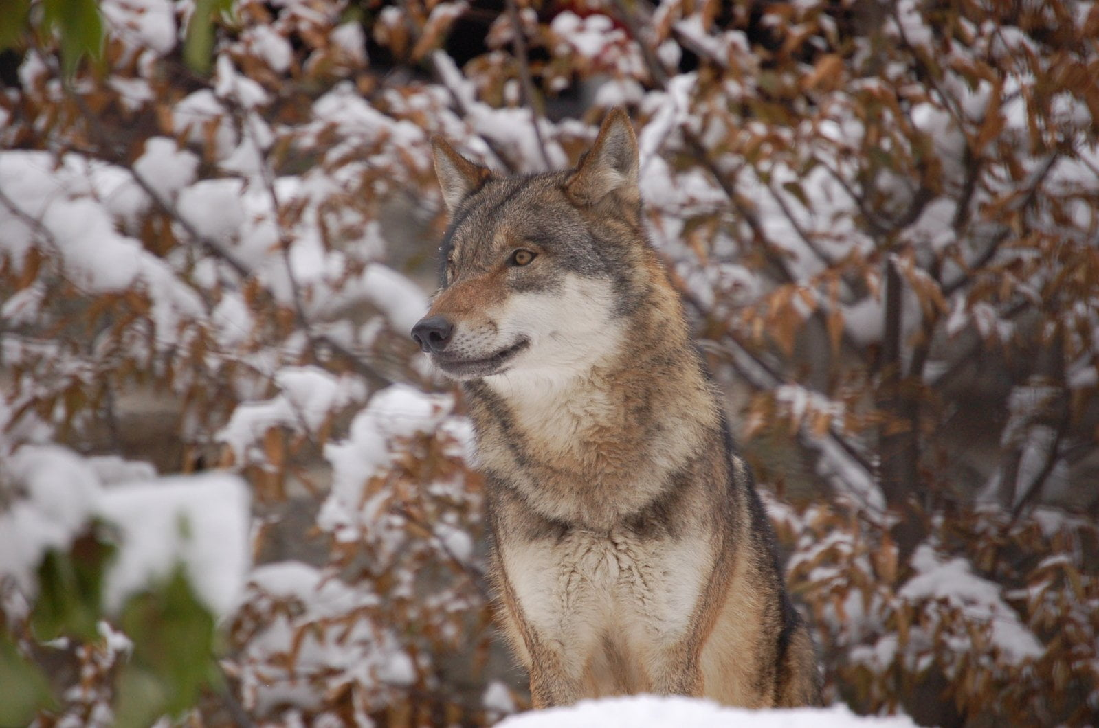 ECOS 40(6): Return of the wolf in Northwestern Europe - A case of spontaneous rewilding